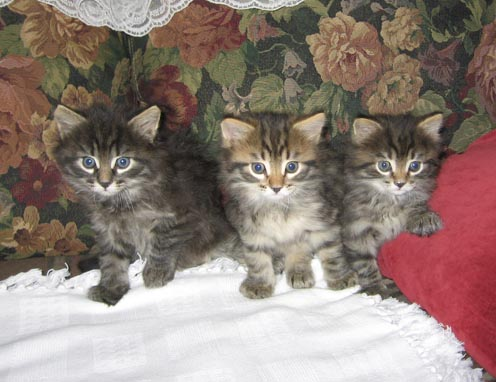 ��������� <strong>���������</strong> ������, siberian kittens for sale, ����� <strong>...</strong>