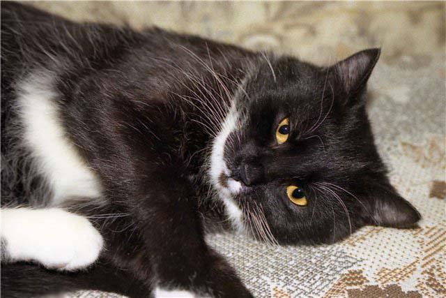 Картинки по запросу черно белый кот